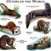 Otters Species Of The World Poster