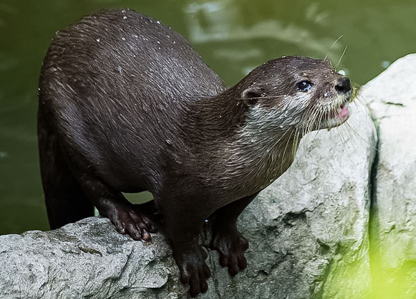Hairy Nosed Otter